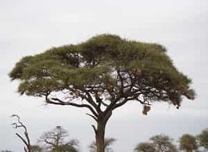 Tout savoir sur l'acacia