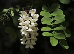 Fleure acacia