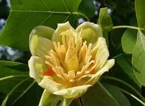 Fleure Tulipier US