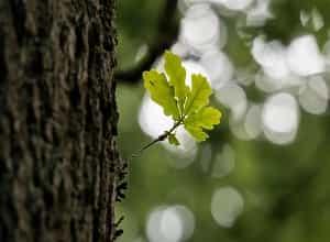 Tout savoir sur le chêne