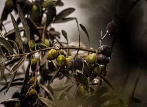 Tout savoir sur l'olivier US